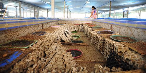 En insektfarm i Mahasalakam-provinsen, Thailand